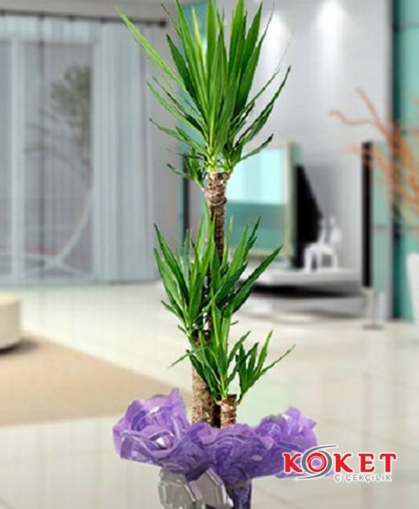 3 lü Yucca Saksı Çiçeği