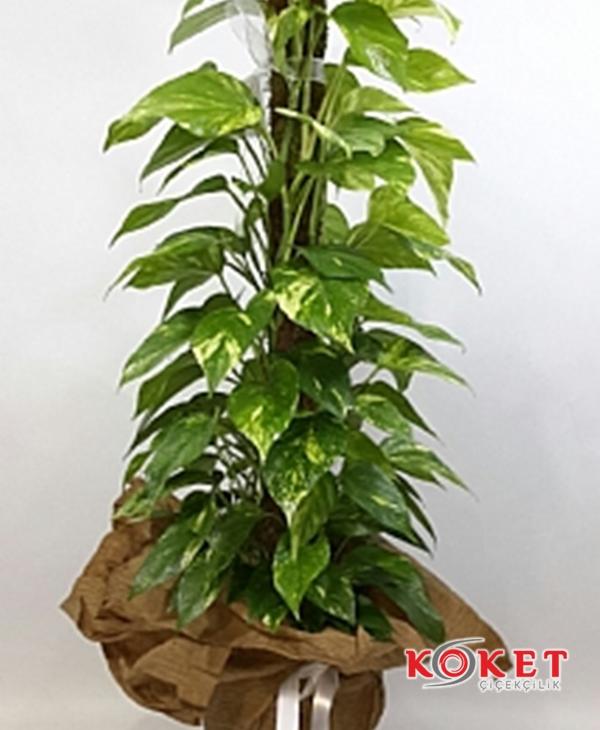 Tropik Bitki