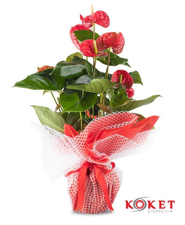 Antaryum Saksı Çiçeği